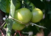 Foto: Noch grüne, halbreife Tomaten am Strauch