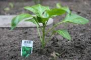 Eine junge Paprikapflanze