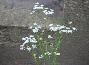 Eine Doldenpflanze im Vorgarten des alten Pfarrhauses