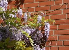 Violetter blühender Flieder an einer Hauswand in der Oberen Altstadt