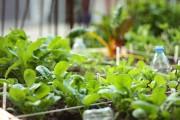 Foto: Heranwachsen von Spinat, Radieschen und Rucola (Nahaufnahme)