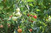 Foto: Tomaten am Strauch