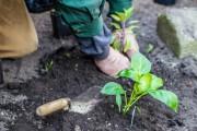 Ein Mindener Engagierter beim Pflanzen (Nahaufnahme)