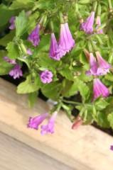 Ein violettes Blütengewächs am Kastenrand