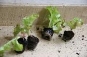 Die kleinen Salatpflanzen