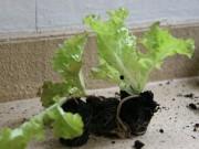 Kleiner Salat in gross