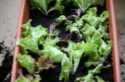Der gegossene Kleinsalat