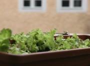 Der Salat im Kasten