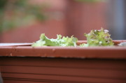 Nur kleine Salatblätter zu sehen