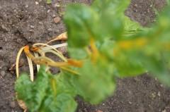 Gelbstengliger Mangold
