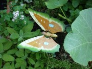 Das Modell eines Schmetterlings