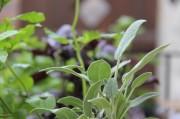Oberer Pflanzenteil des Salbeis