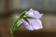 Hell-violette Blüte in der  Grossaufnahme