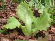 Ein junge Salatpflanze zwischen  Kakaoschalen