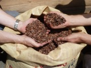 Kakaoschalen sollen die Feuchtigkeit in der Erde halten