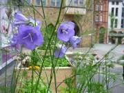 Violette Blüten neben Dill