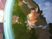 Ein Blatt schwimmt in der Regentonne neben dem Pfarrhaus