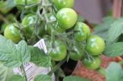 Noch grüne Tomaten,  die bald reif sind