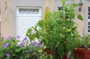 Tomaten neben einem violett- blühendem Gewächs