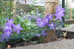 Essbare Blüten am Kaak