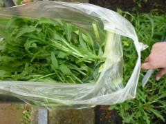 Rucola für den Salatteller
