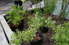 Pflanzen kurz vor der Pflanzung in die Kästen