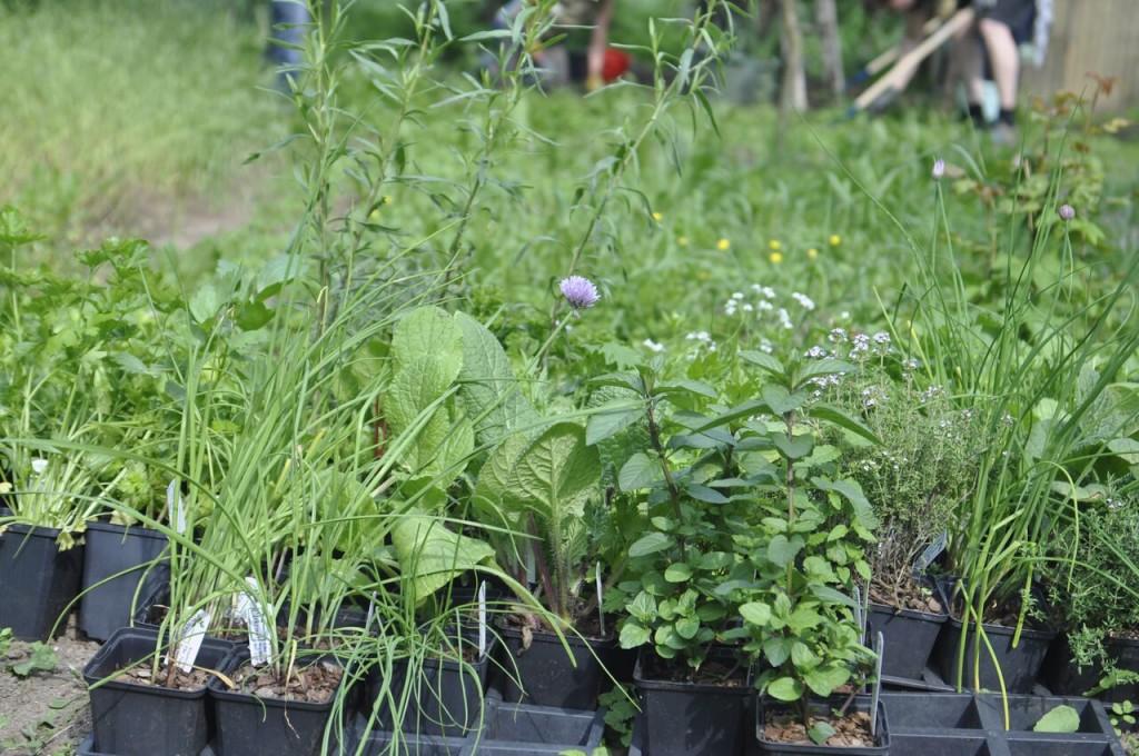 Gepflanzt wurde unter anderem Schnittknoblauch, Minze, Pflücksalat, Rauke, Thymian, Oregano und vieles mehr